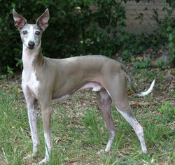 Italiangreyhound1