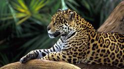 Animalsjaguars16411101920x1080