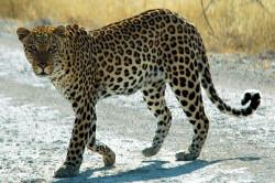 Namibie_etosha_leopard_01edit